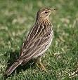 10 Cara Merawat Burung Branjangan Agar Aktif dan Rajin Berbunyi