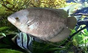 13 Cara Merawat Induk Pada Ikan Gurame Bagi Pemula