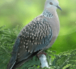 10 Cara Membuat Burung Tekukur Rajin Bunyi