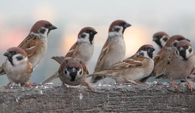 10 Cara Burung Gereja Cepat Gacor