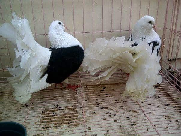 15 Cara Budidaya Burung Merpati Kipas