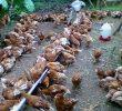 10 Cara Pemberian Vaksin Ayam Petelur