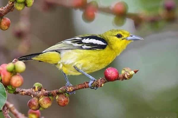 10 Cara Membuat Burung Cipoh Agar Cepat Gacor
