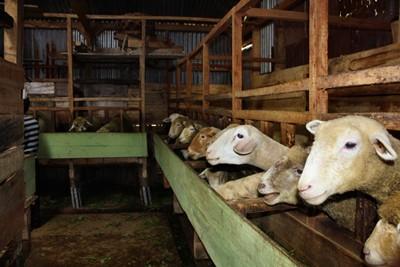 10 Cara Ternak Domba Modern
