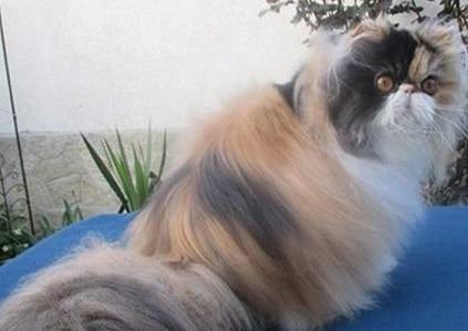 13 Cara Memanjangkan Bulu Kucing Secara Alami