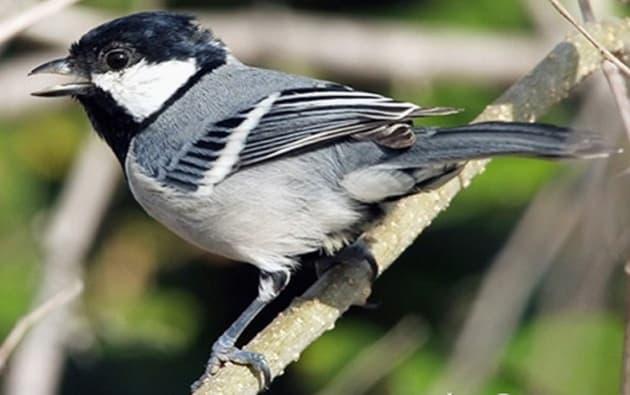 8 Cara Merawat Burung Gelatik Bakalan