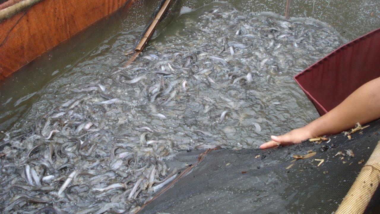 13 Cara Budidaya Ikan Lele Dengan Jaring Arenahewan Com