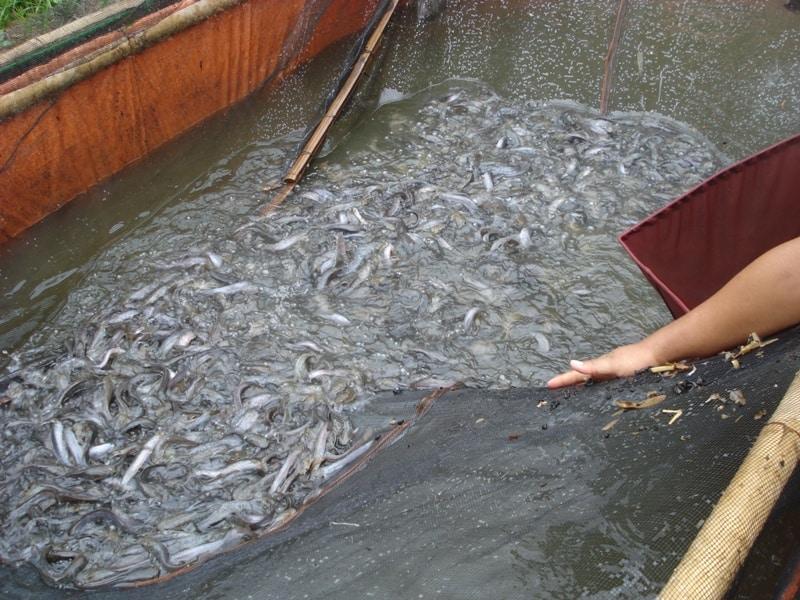13 Cara Budidaya Ikan Lele Dengan Jaring