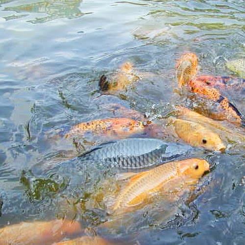 15 Cara Budidaya Ikan di Empang Mudah Bagi Pemula