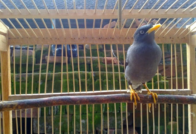 13 Cara Membuat Burung Jalak Kebo Bisa Bicara