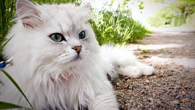 10 Cara Menjinakkan Kucing Persia Dewasa