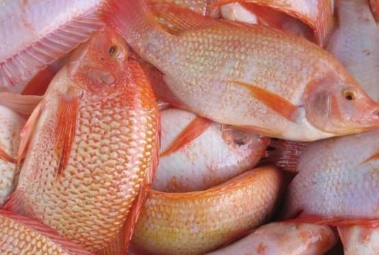 10 Cara Ternak Ikan Mujair Merah Hingga Sukses