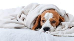 , Cara Mengobati Anjing Sakit Flu, Carles Pen, Carles Pen