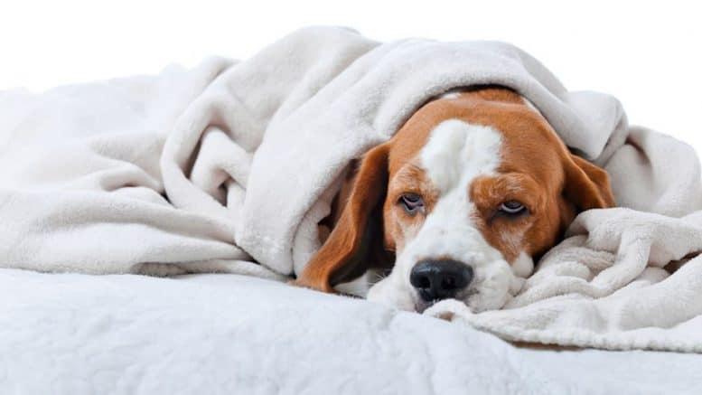 13 Cara Mengobati Anjing Flu Efektif Sembuh