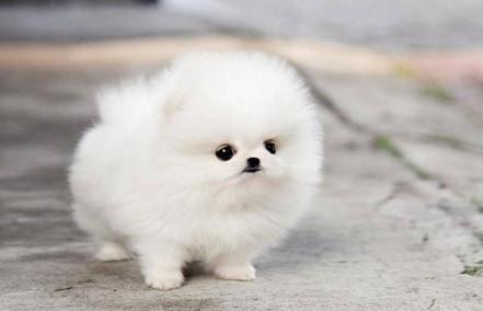 10 Penyakit Pada Mini Anjing Pom Perlu Waspada