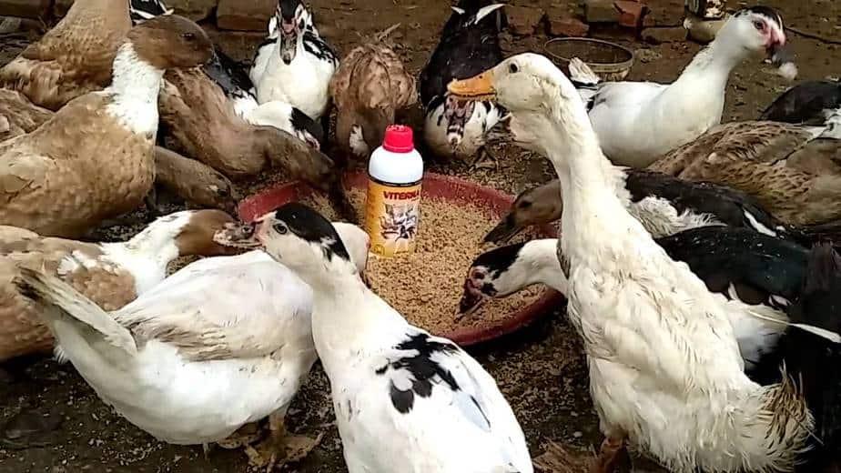 8 Jenis Bahan Pakan Alternatif Untuk Ransum Pakan Bebek
