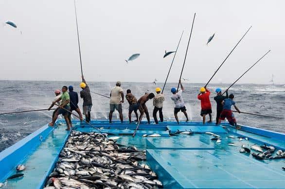 8 Cara Ternak Ikan Tongkol Menguntungkan Bagi Pemula