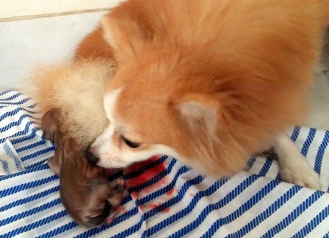 15 Cara Merawat Anjing yang Baru Melahirkan
