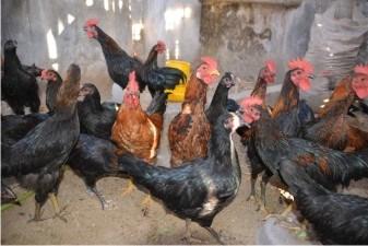 10 Cara Beternak Ayam Joper Bagi Pemula