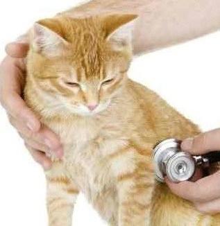 13 Cara Merawat Kucing Yang Terkena Virus Arenahewan Com