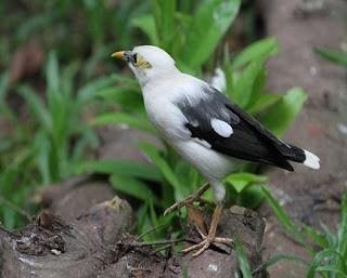 13 Cara Ternak Burung Jalak Kapas
