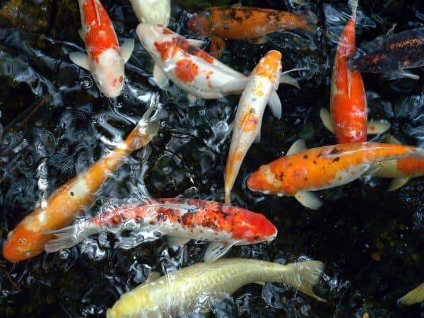 13 Penyakit Pada Ikan Koi dan Gejalanya