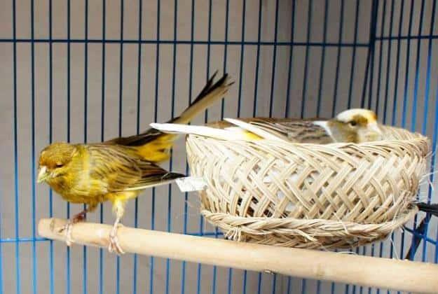 10 Cara Ternak Burung Kenari Biar Cepat Bertelur