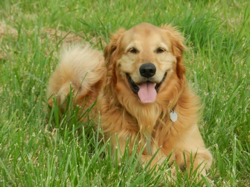 13 Cara Merawat Bulu Golden Retriever Agar Tidak Rontok