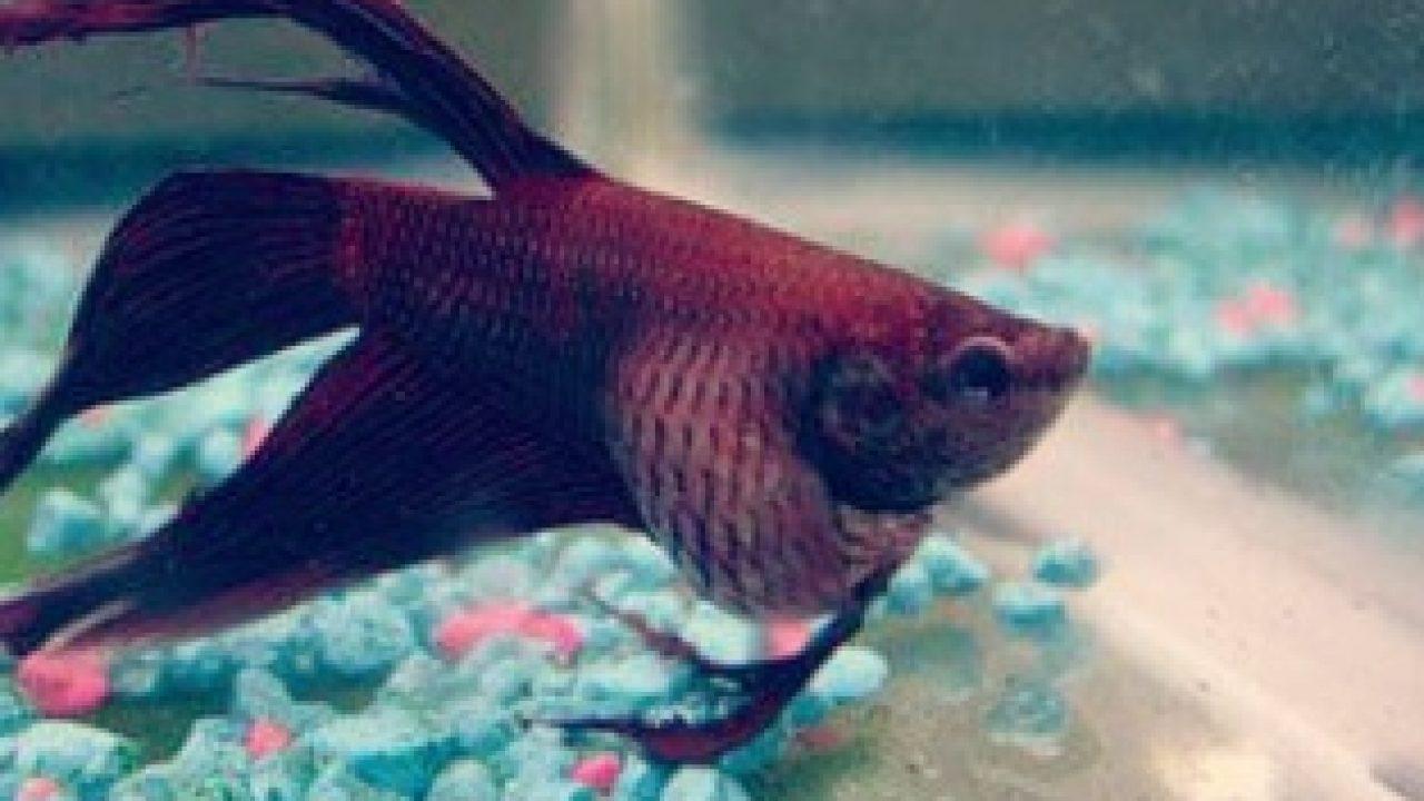 10 Cara Mengatasi Ikan Cupang Kembung Arenahewan Com
