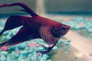 10 Cara Mengatasi Ikan Cupang Kembung