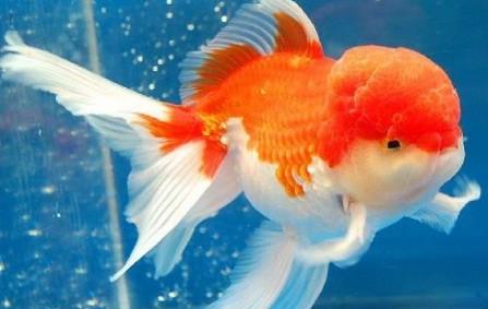 10 Cara Mengatasi Ikan Koki Terbalik Arenahewan Com