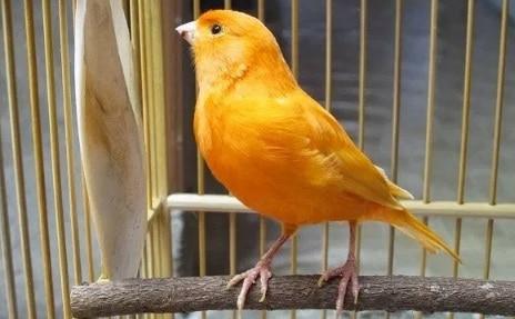13 Cara Mengatasi Mental Burung Kenari