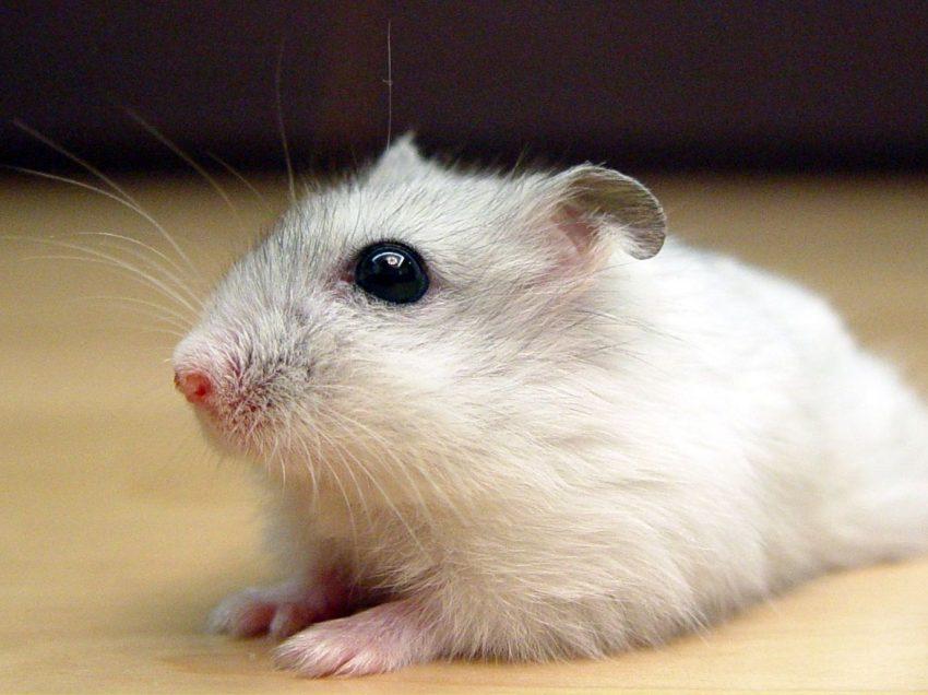 7 Cara Ternak Hamster Anggora
