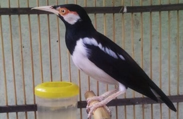8 Tips Ternak Burung Jalak Suren Bagi Pemula