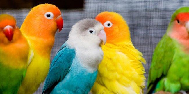 7 Tips Membeli Lovebird Untuk Pemula