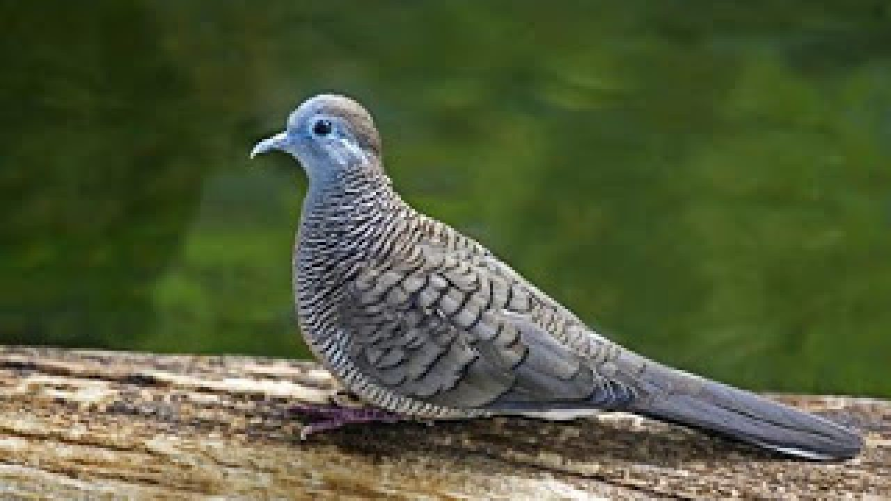 8 Tips Burung Perkutut Rajin Bunyi Arenahewan Com