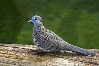 8 Tips Burung Perkutut Rajin Bunyi