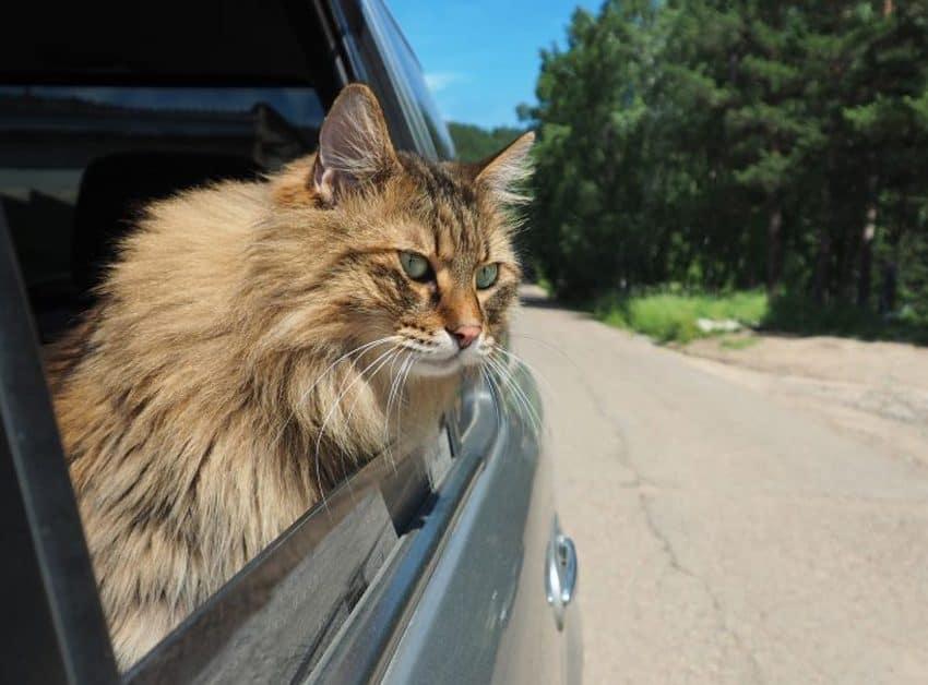 15 Tips Membawa Kucing Pindah Rumah