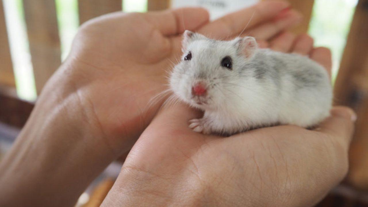 15 Tips Memelihara Hamster Dengan Baik Arenahewan Com