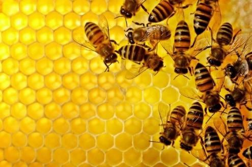 Proses Budidaya Lebah Madu