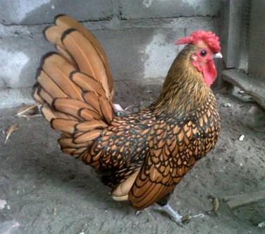 13 Cara Beternak Ayam Hias