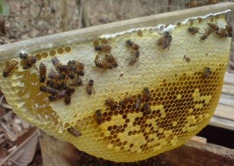13 Cara Budidaya Lebah Madu Hutan