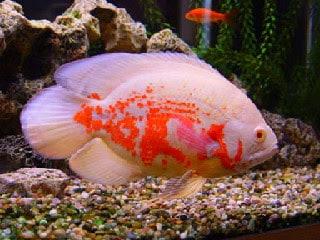 13 Cara Agar Warna Ikan Oscar Bagus