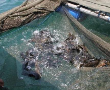 Budidaya Ikan Bandeng di Keramba Jaring Apung