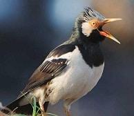 12 Cara Budidaya Burung Jalak Suren