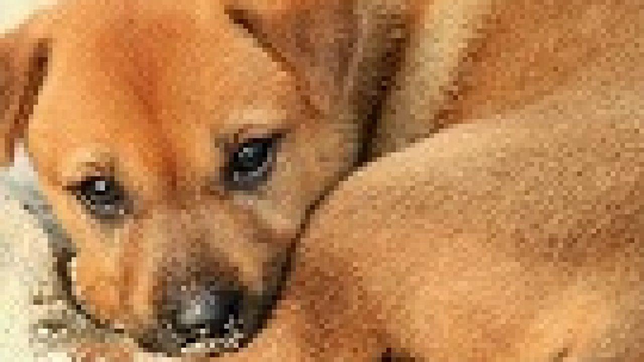 10 Cara Menghilangkan Cacingan Pada Anak Anjing Arenahewan Com