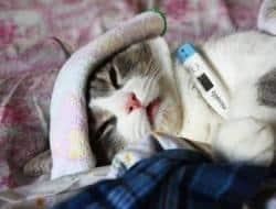 10 Cara Membuat Kucing Sakit Mau Makan