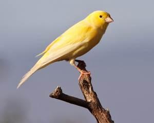 12 Cara Budidaya Burung Kenari Lokal