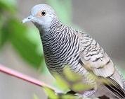 10 Cara Ternak Burung Perkutut Bangkok