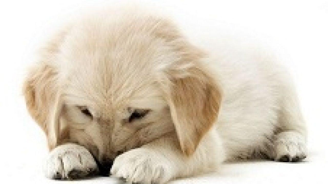 28+ Anjing golden kecil terbaru
